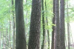 Sprzedam 20 ha 80 letniego lasu- litego boru bukowego z domieszką starej brzozy i sosny