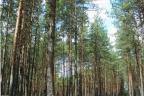 Sprzedam las sosnowy / Małe Chełmy