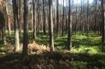 Las sosnowy Nadrzecze kolo Biłgoraja (Lubelskie)