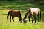 Posiadość dla miłośników koni, 96ha, odrestaurowany dworek, 8 pokoi, 26 boksów, ujeżdalnia 30 x 60m